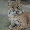 Lynxiv