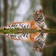 Tiger238
