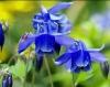 Растение Аквилегия (водосбор)