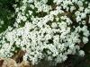 Растение Резуха (Арабис)