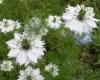 Растение Чернушка (Нигелла)