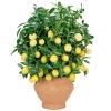 Декоративное лимонное дерево
