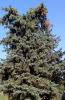 """Дерево """"Голубая ель"""""""