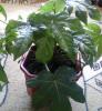 Растение Фатсия японская
