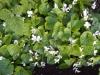 Цветок Фиалка садовая