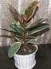 Комнатное растение Фикус каучуконосный
