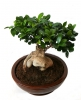 Комнатное растение Фикус микрокарпа