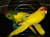 Новозеландский попугай (какарик)