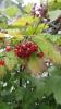 Растение Калина