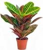 Домашнее растение Кодиеум