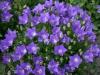 Цветок Колокольчик Карпатский