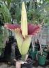 Комнатное растение Аморфофаллус