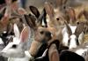 Кролик обыкновенный