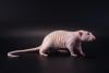 Лысая крыса сфинкс