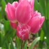 Многоцветковые тюльпаны Happy Family