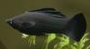 Аквариумная рыбка Моллинезия