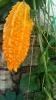 Растение момордика