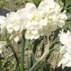 Цветы Нарциссы многоцветковые