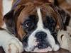 Собачья порода Боксер
