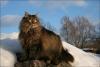 """Порода """"Норвежская лесная кошка"""""""