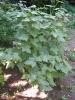 Растение Черная смородина