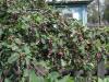 Растение Ирга