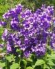 Растение Колокольчик широколистный