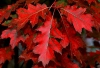 Растение Красный дуб