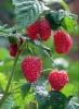 Растение малина