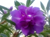 Растение Пион древовидный