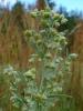 Растение Полынь горькая