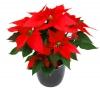 Растение Пуансеттия