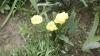 "Цветок тюльпан ""Mon Amour"""