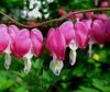 Садовый цветок Дицентра великолепная (спектабилис)