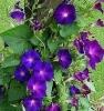 Садовый цветок Ипомея (вьюнок)
