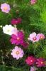 """Садовый цветок """"Космея"""""""