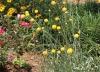Садовый цветок Краспедия шаровидная
