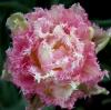 "Садовый цветок тюльпан ""Кул Кристал"""