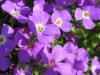 Садовый цветок Обриета