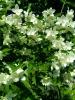 Цветок Чубушник (Жасмин садовый)