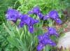 Цветок Ирис низкорослый