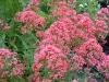 Цветок  Кентрантус  Красный