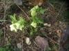 Цветок Морозник кавказский