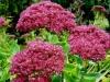 Цветок садовый очиток видный