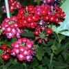 "Садовый цветок ""Вербена"""