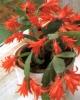 Цветок Шлумбергера (Декабрист)