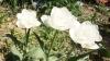 "Цветок тюльпан ""Mount Tacoma"""