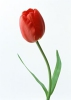 Цветок Тюльпан