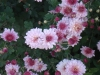 """Цветы садовые Хризантемы """"Дубки"""""""
