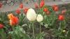"""Цветок тюльпан """"Слоновая кость"""""""
